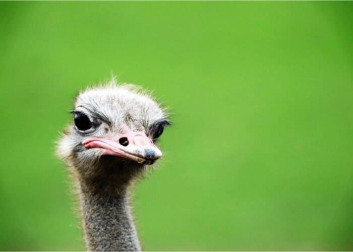 avestruz rápida